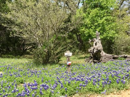 A field of bluebonnets with trees in the background.